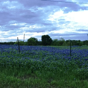 There really are few things more beautiful (to a Texan) than a field of bluebonnets.